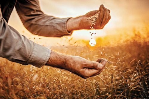 Farmer_holding_grain_in_sunset_GettyImages-975276090